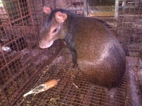 Agouti of the Field station's production system
