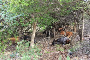 Cattle seek refuge from the searing heat among shrubbery in Union Island, St. Vincent and the Grenadines